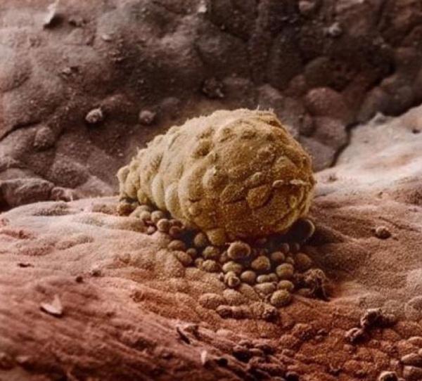 Еще через неделю эмбрион прикрепляется к слизистой матки