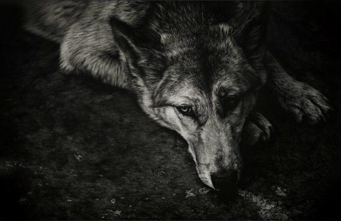 Берегитесь Раненых Волков